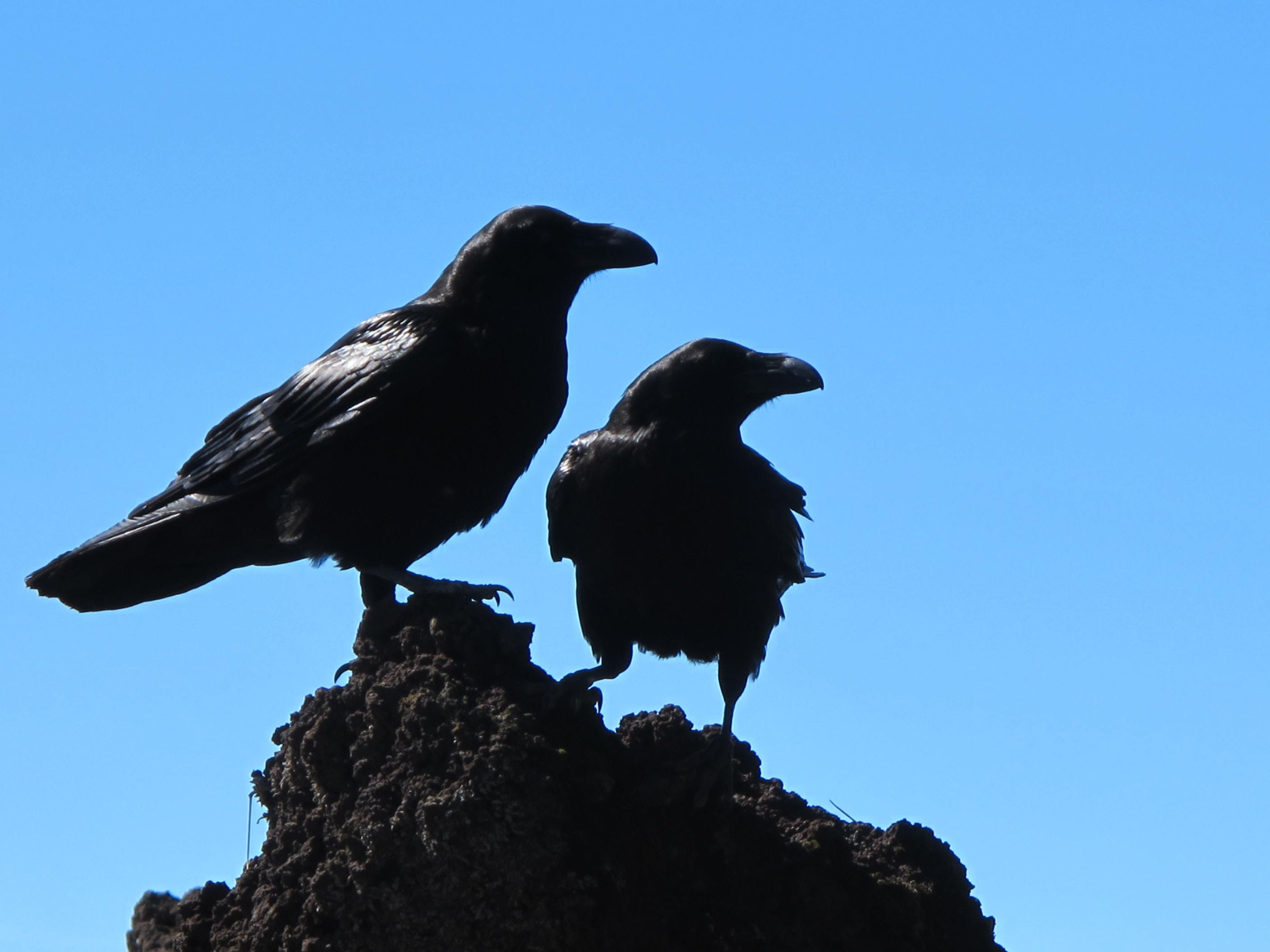 Free stock photo of birds, black, crows