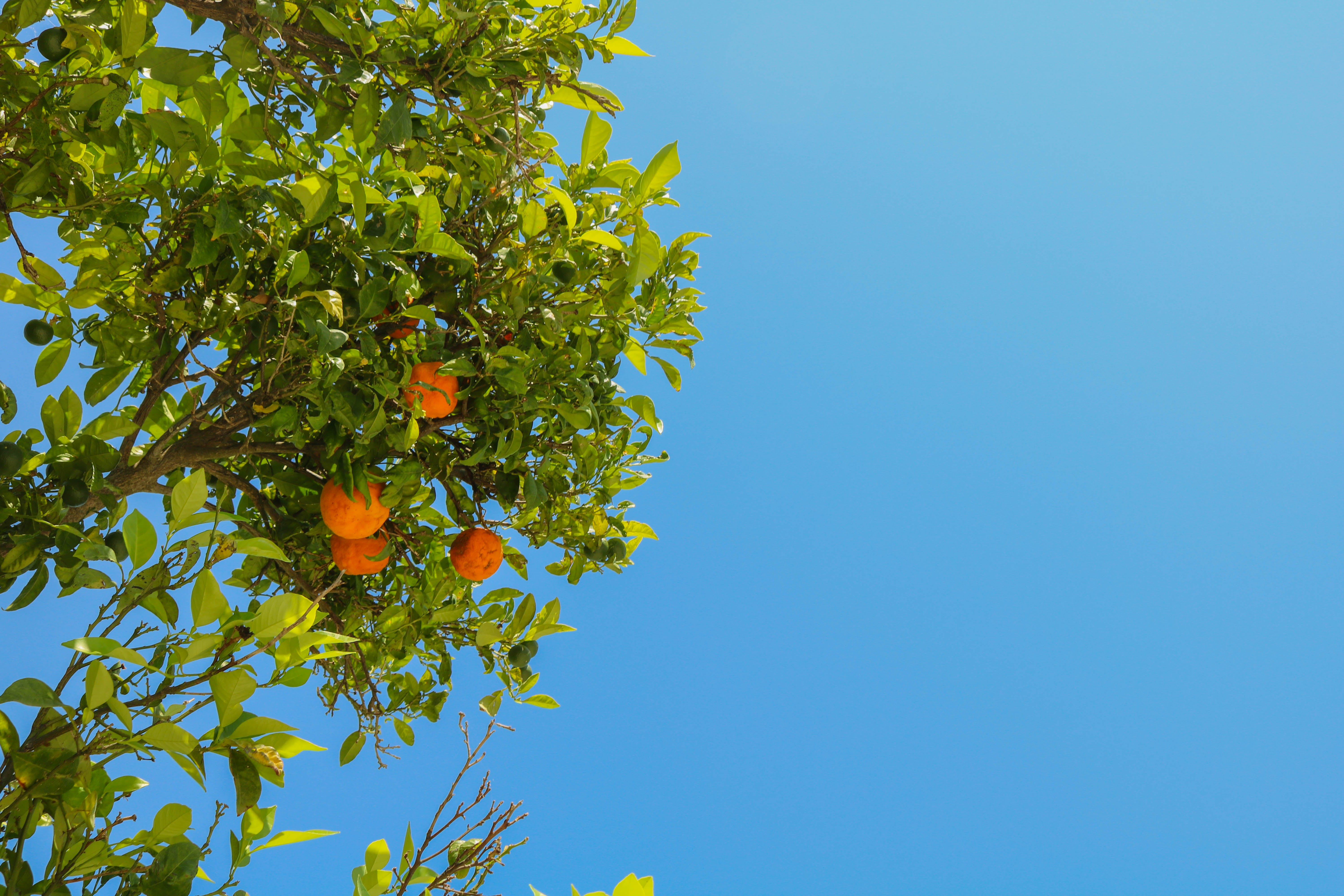 Free stock photo of blue, blue sky, fruit, green