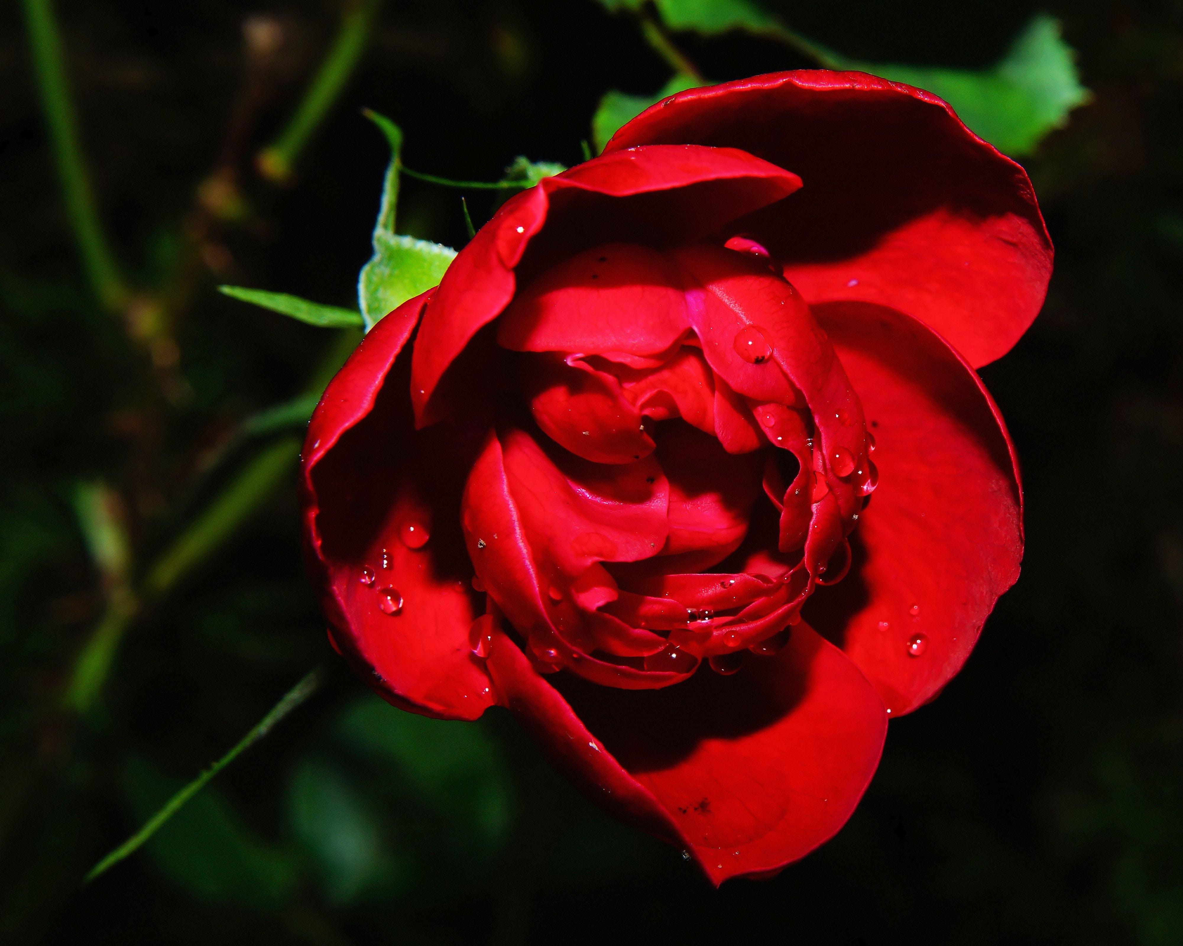 Kostenloses Stock Foto zu natur, rot, blütenblätter, pflanze