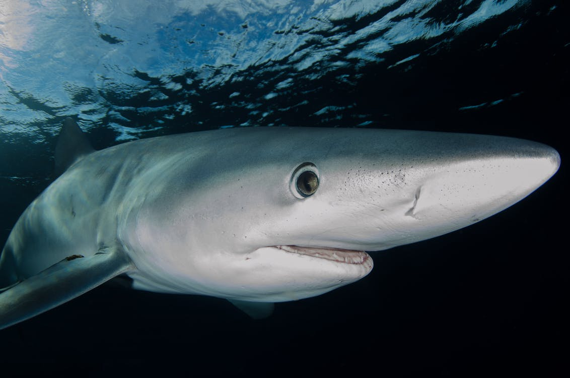 Grey Shark in Water