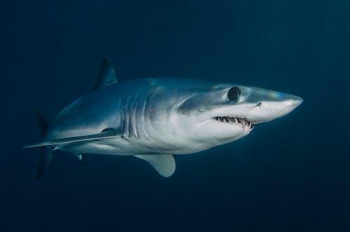 Grey Shark in Blue Water