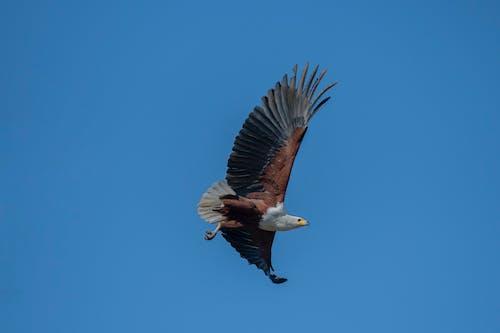 Kostnadsfri bild av fåglar, fiskörn, rovfågel, vildfågel