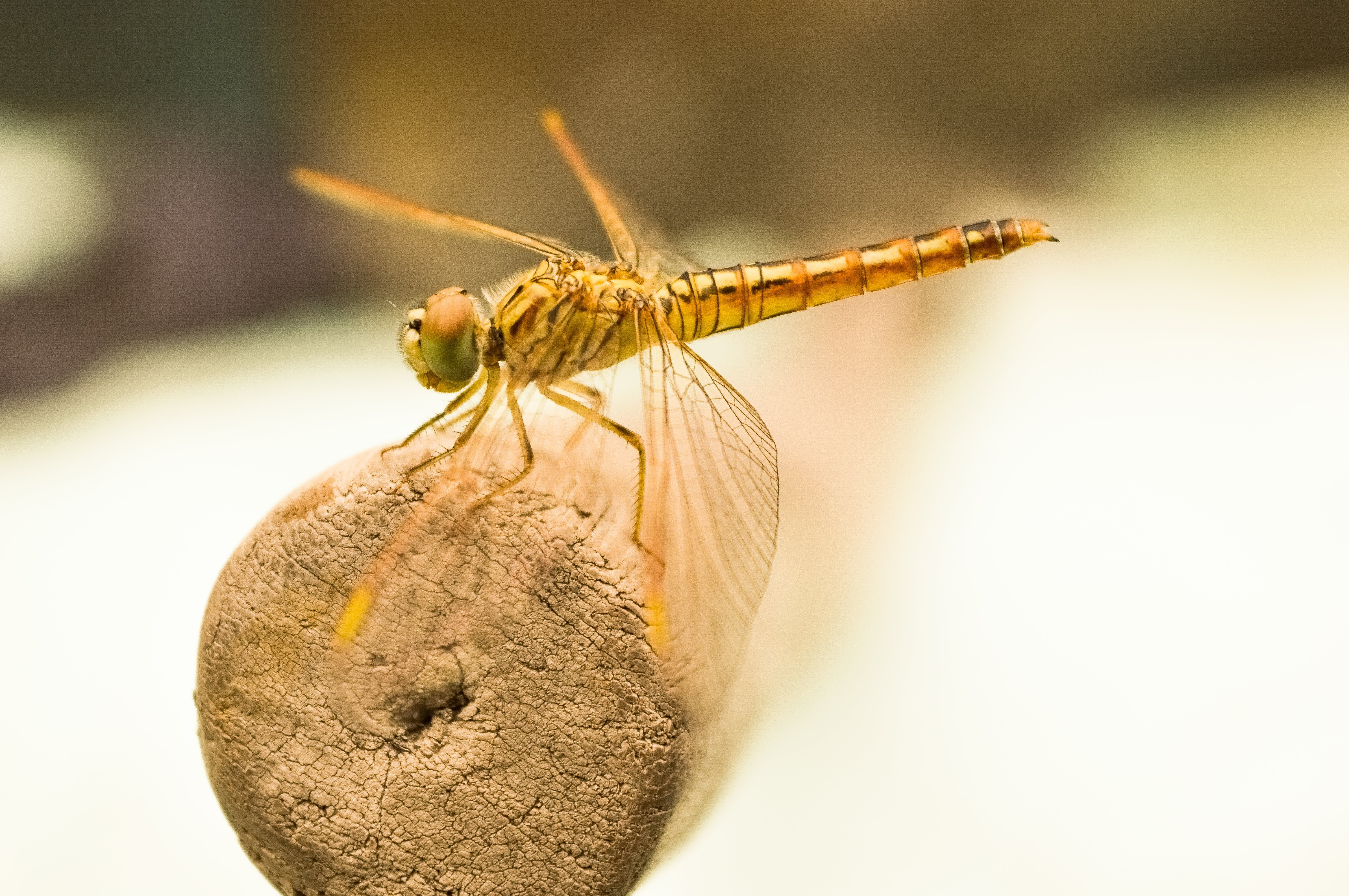 Yellow Dragonfly on Brown Wooden Stick during Daytime