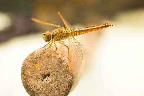 Kostnadsfri bild av insekt, makro, trollslända