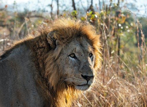 Kostnadsfri bild av afrikansk lejon, lejon, panthera leo, predetor