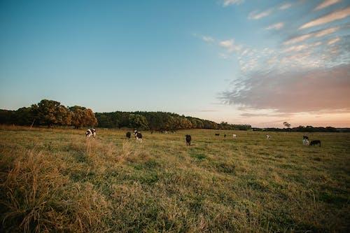 alan, arazi, büyükbaş hayvanlar, çayır içeren Ücretsiz stok fotoğraf