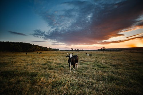 akşam, alan, arazi, büyükbaş hayvanlar içeren Ücretsiz stok fotoğraf