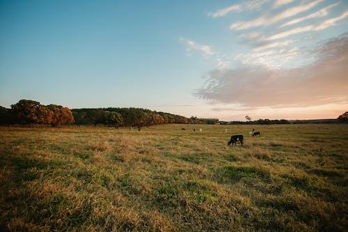Безкоштовне стокове фото на тему «дерево, Захід сонця, корова, краєвид»