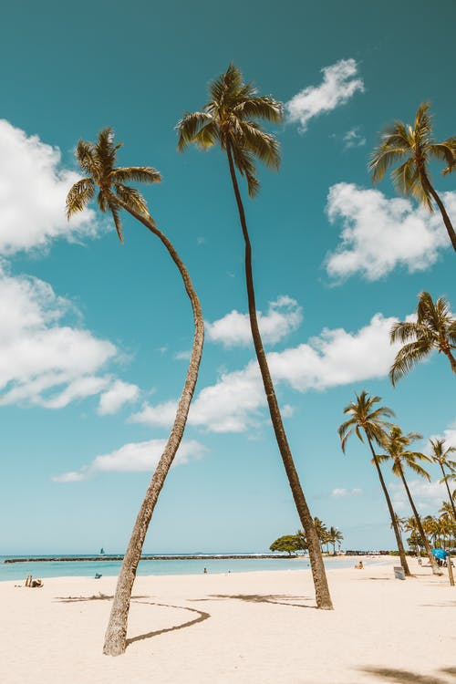 Tall Coconut Trees by the Shore