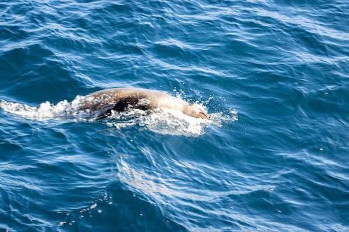 Free stock photo of ocean, seal, sealife, swimming