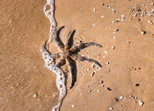 Black Starfish on Brown Sand