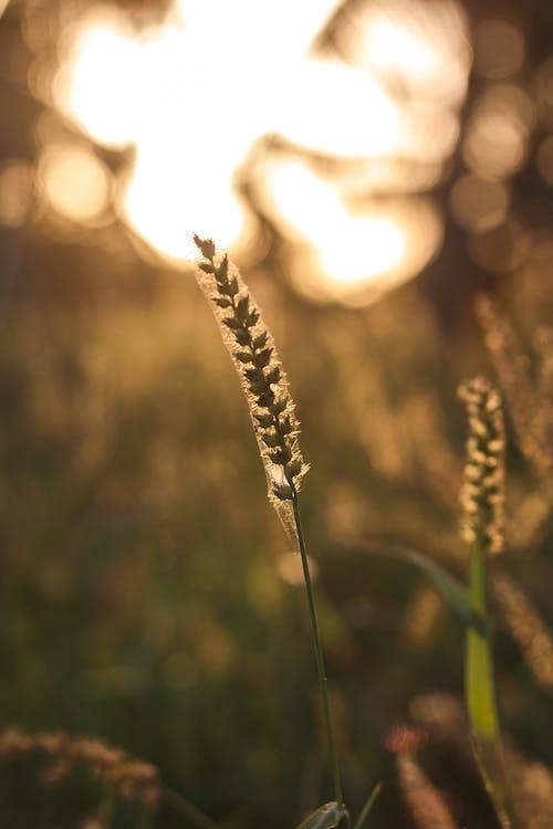 Foto d'estoc gratuïta de a l'aire lliure, agricultura, alba, blat