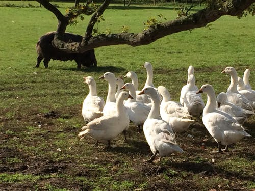 Free stock photo of English free range Geese and pigs