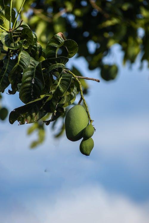 Green Mangoes on Tree