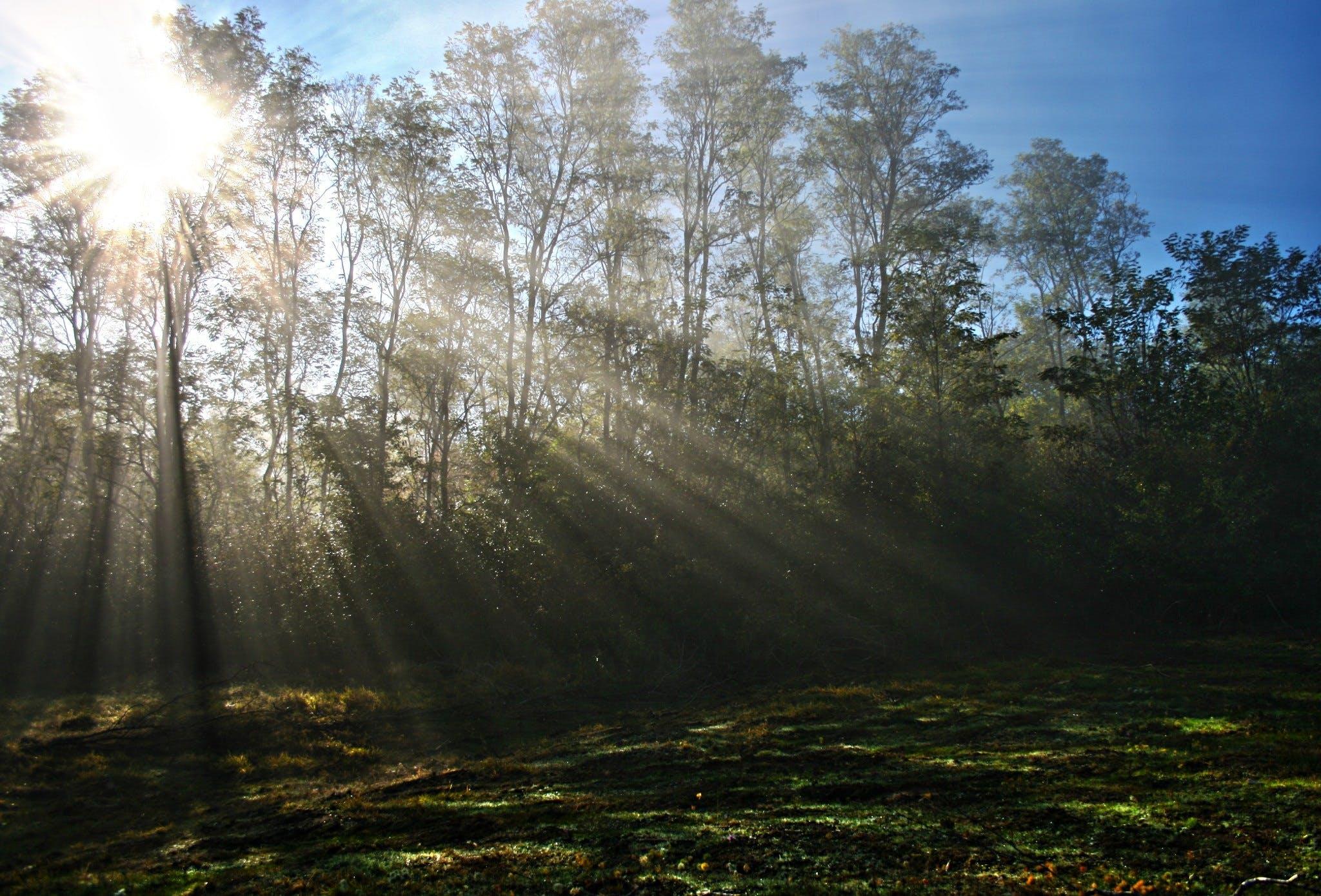 Sunlight Piercing Through Green Tall Trees during Daytime