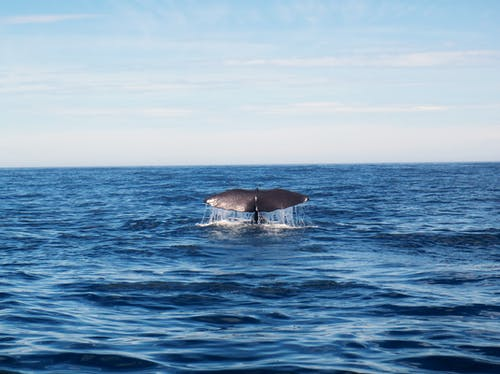 Humpback whale in ocean water on sunny day