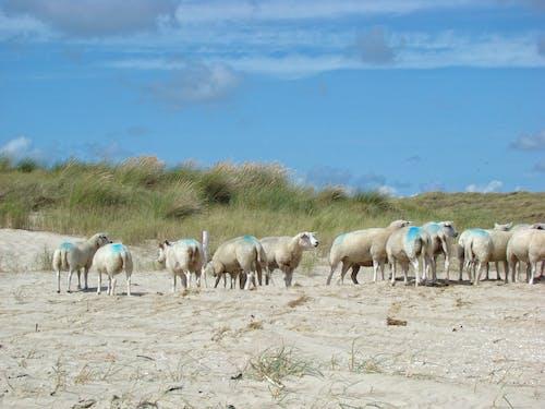 Free stock photo of Duinen, dunes, hors + meertjes