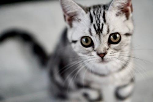 Darmowe zdjęcie z galerii z duże oczy, kociak, kocięta, kot