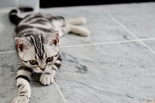 White and Black Kitten Lying on Tiles
