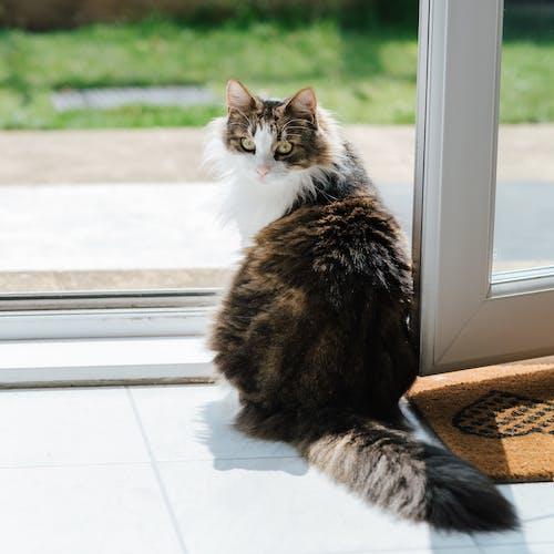 可愛的毛茸茸的貓在開門附近的地板上