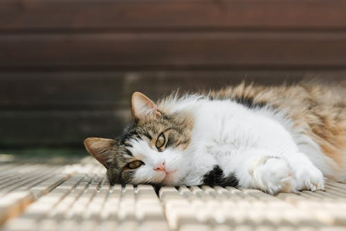 Lazy cat resting on wooden walkway in sunlight