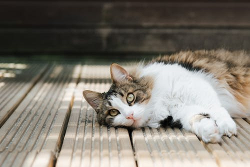 Attentive fluffy cat resting on wooden planks