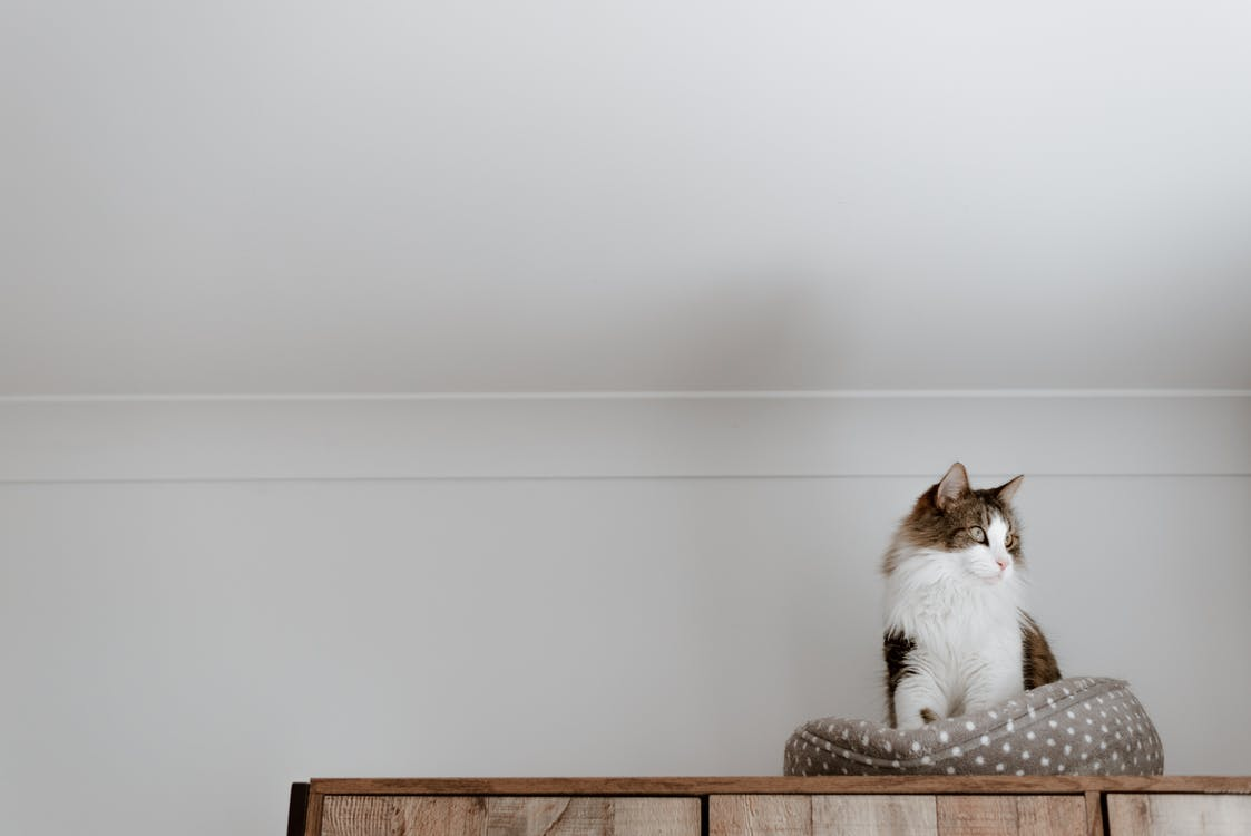From below of cute fluffy cat sitting on cozy bed near white wall while looking away in house