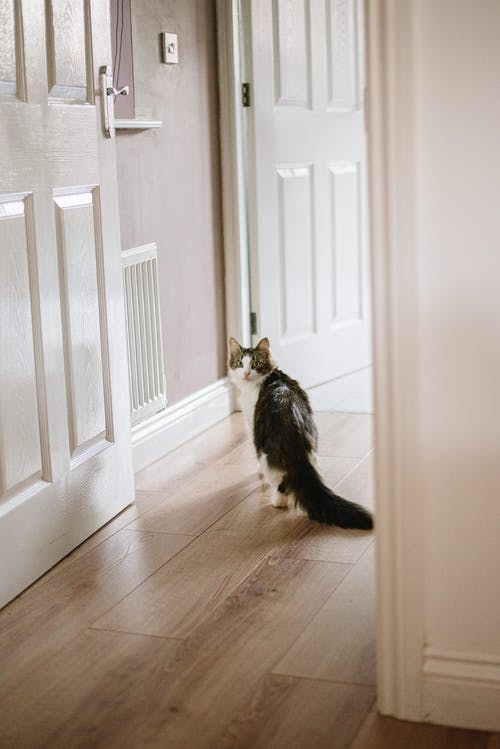 Adorable cat walking on parquet at home