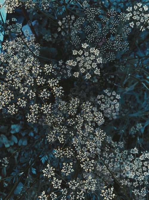 Top view tender Gypsophila Paniculata plants with white tiny flowers on thin stems growing in verdant summer nature