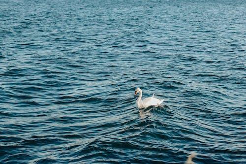 土耳其藍, 夏天, 夏季, 天鵝 的 免費圖庫相片