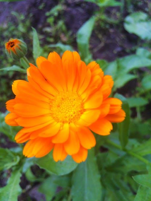 Free stock photo of beautiful flower, calendula, flower