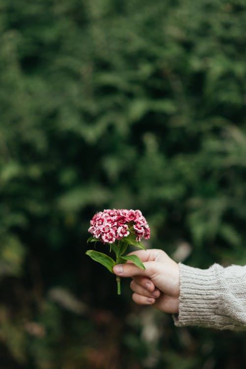 Crop anonymous person demonstrating blooming sweet William flower against blurred background in daytime