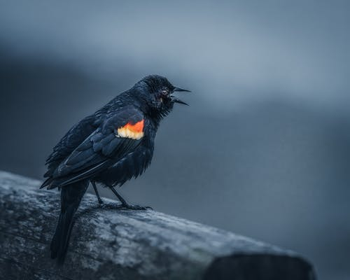 Wild red winged blackbird sitting on shabby wooden log and crying on gray background in countryside