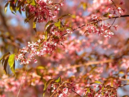 Ingyenes stockfotó ágak, cseresznyevirágok, finom, fókusz témában