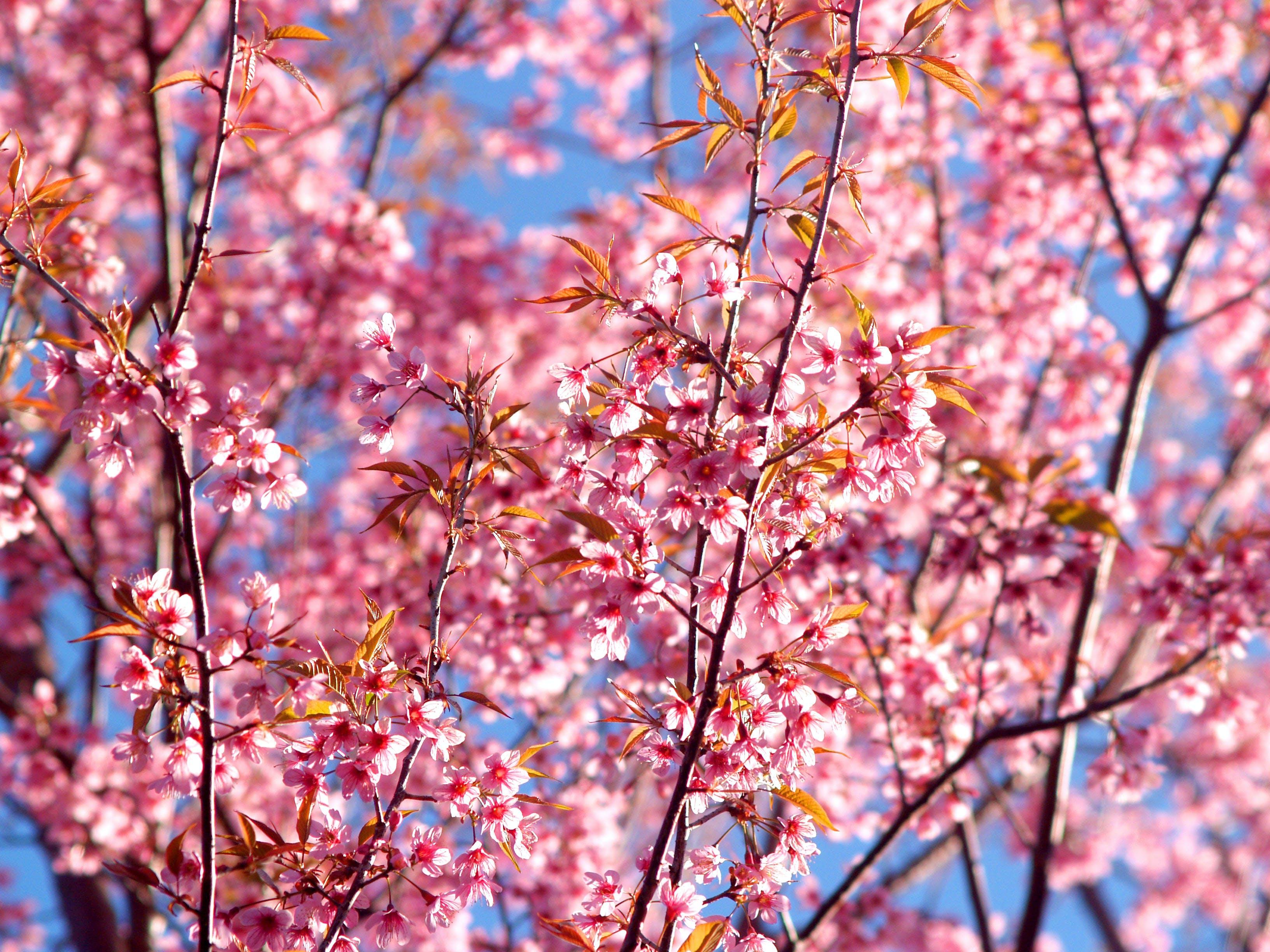 Pink Leafed Tree