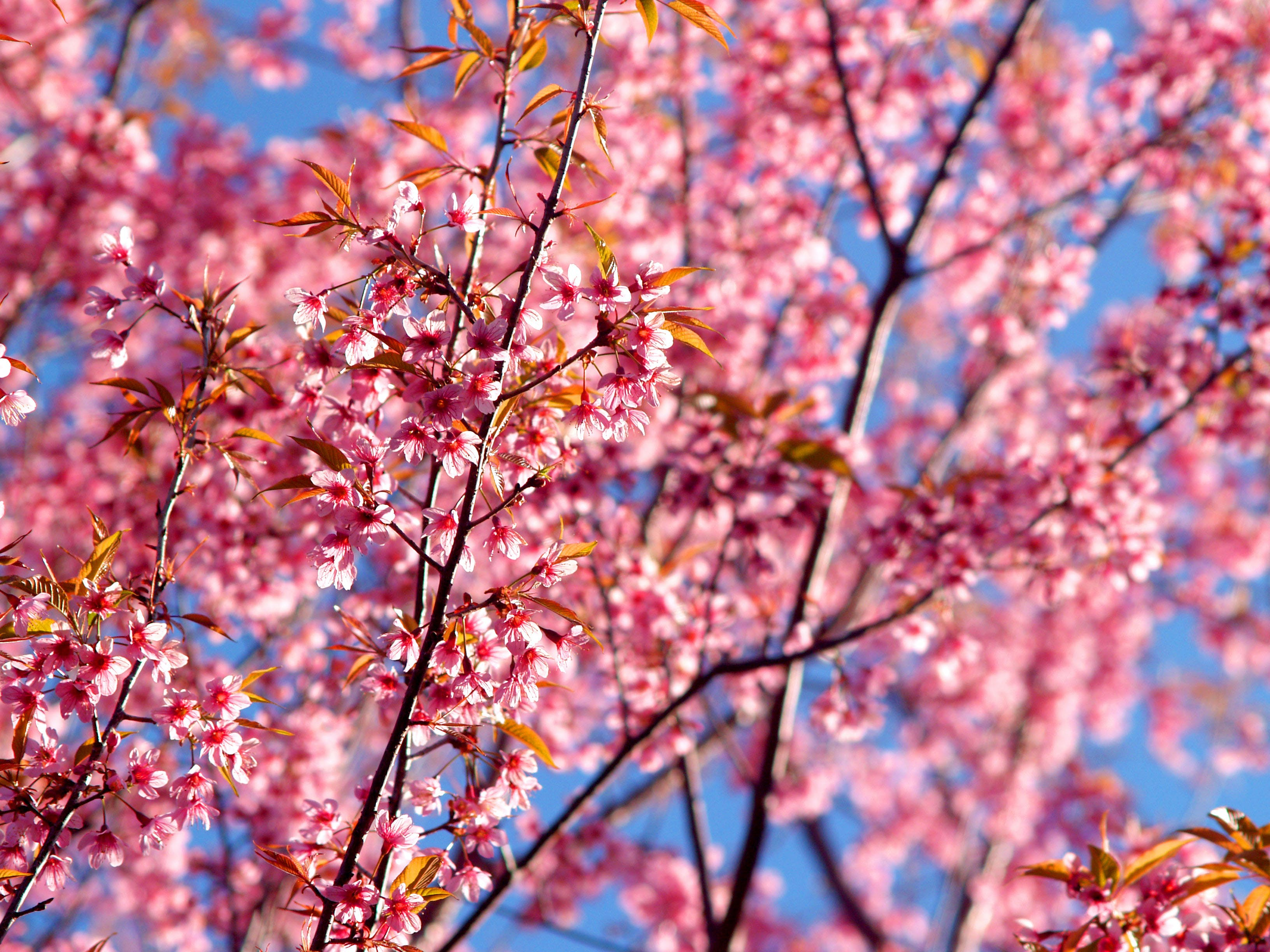Shallow Focus Photography of Pink Tree Flowers