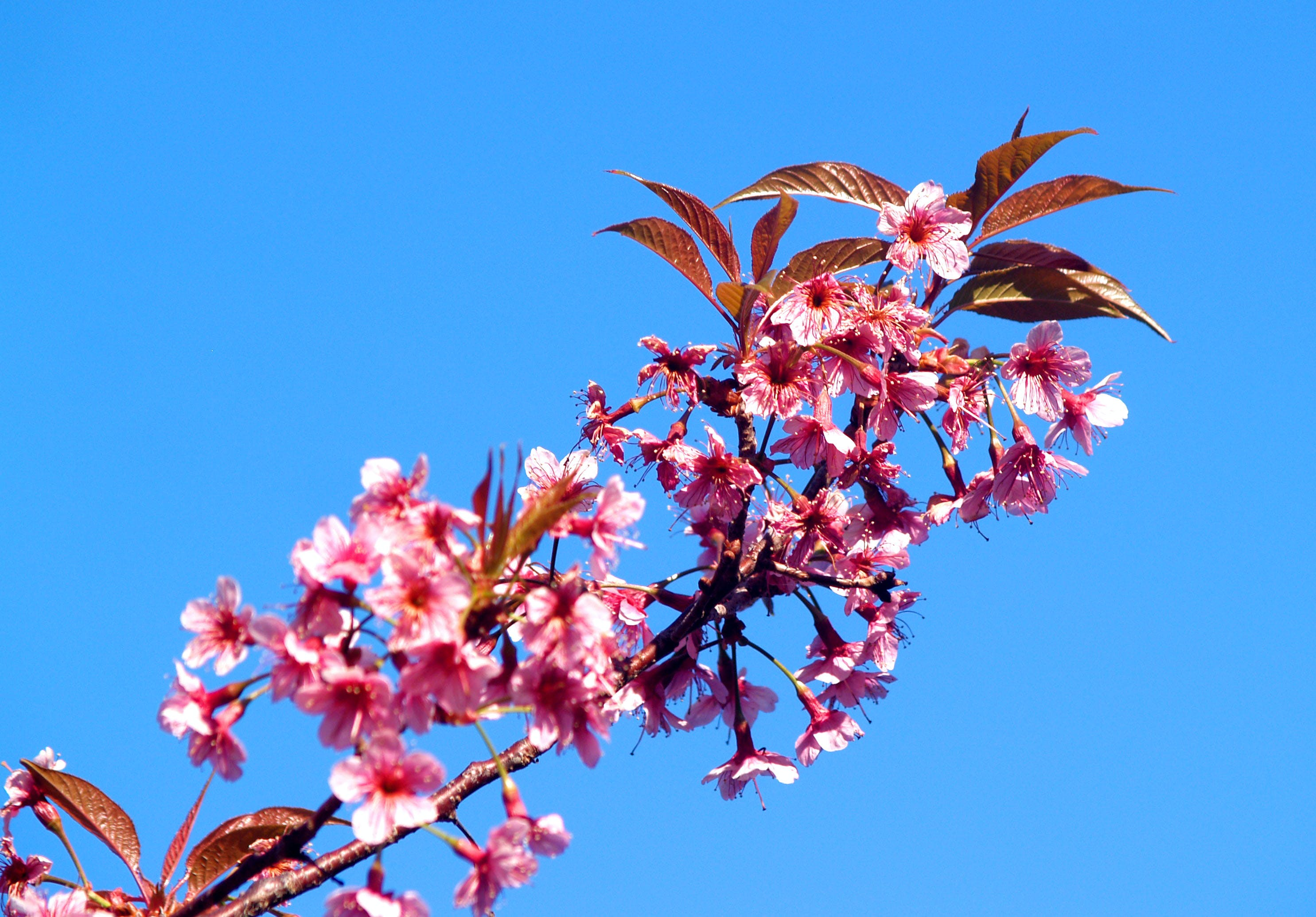 Free stock photo of nature, sky, flowers, petals