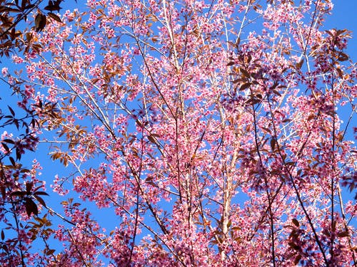 คลังภาพถ่ายฟรี ของ กลีบดอก, การเจริญเติบโต, กำลังบาน, ซากุระ