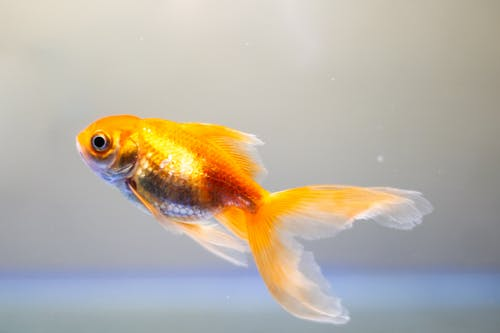 Closeup of small bright goldfish swimming up in clear water in aquarium against blurred background