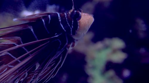 Free stock photo of aquatic, life, lion fish
