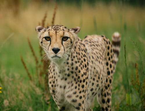 Powerful leopard standing in green savanna