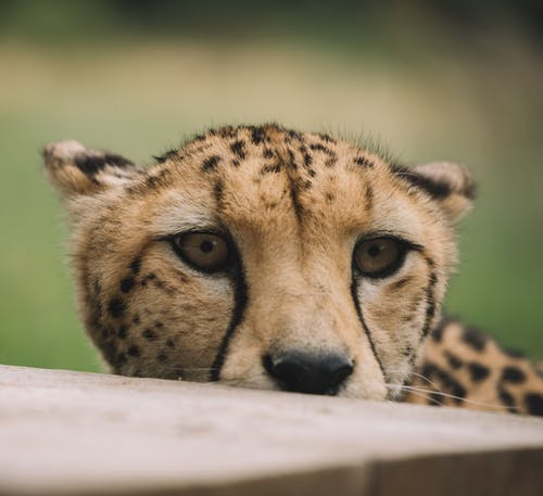 Brown and Black Cheetah on White Wooden Table
