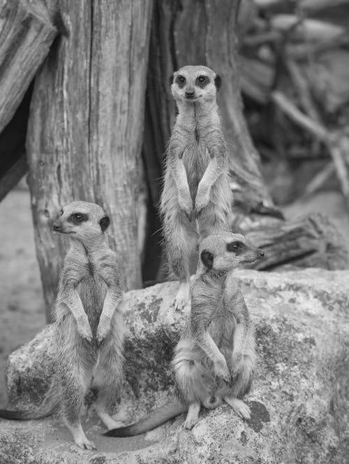 Grayscale Photo of Two Animals on Tree Trunk