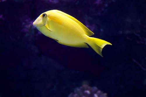 Free stock photo of yellow fish
