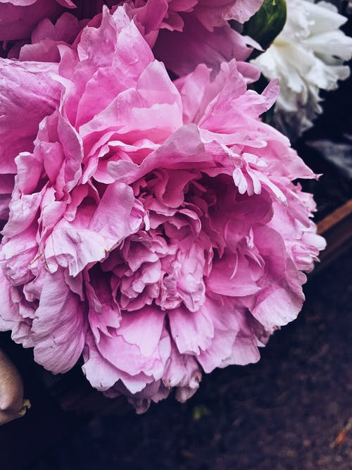Tender peony flower with delicate pink petals blossoming in fragrant summer garden in daylight