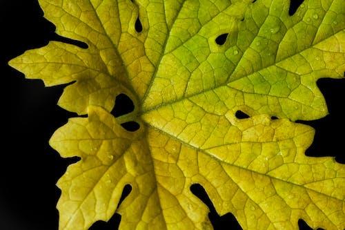 Immagine gratuita di foglia, giallo