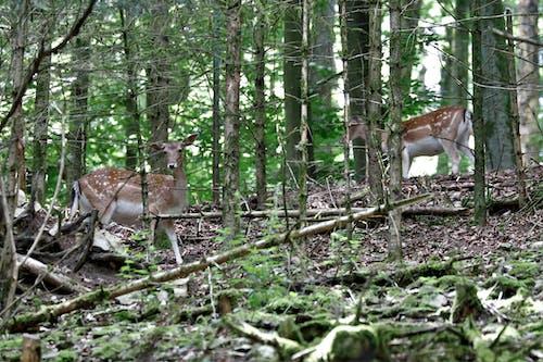 Foto d'estoc gratuïta de Hirsch, natur, wald