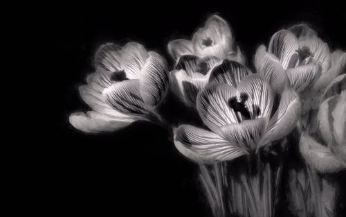 Free stock photo of black and white, flowers, minimalism