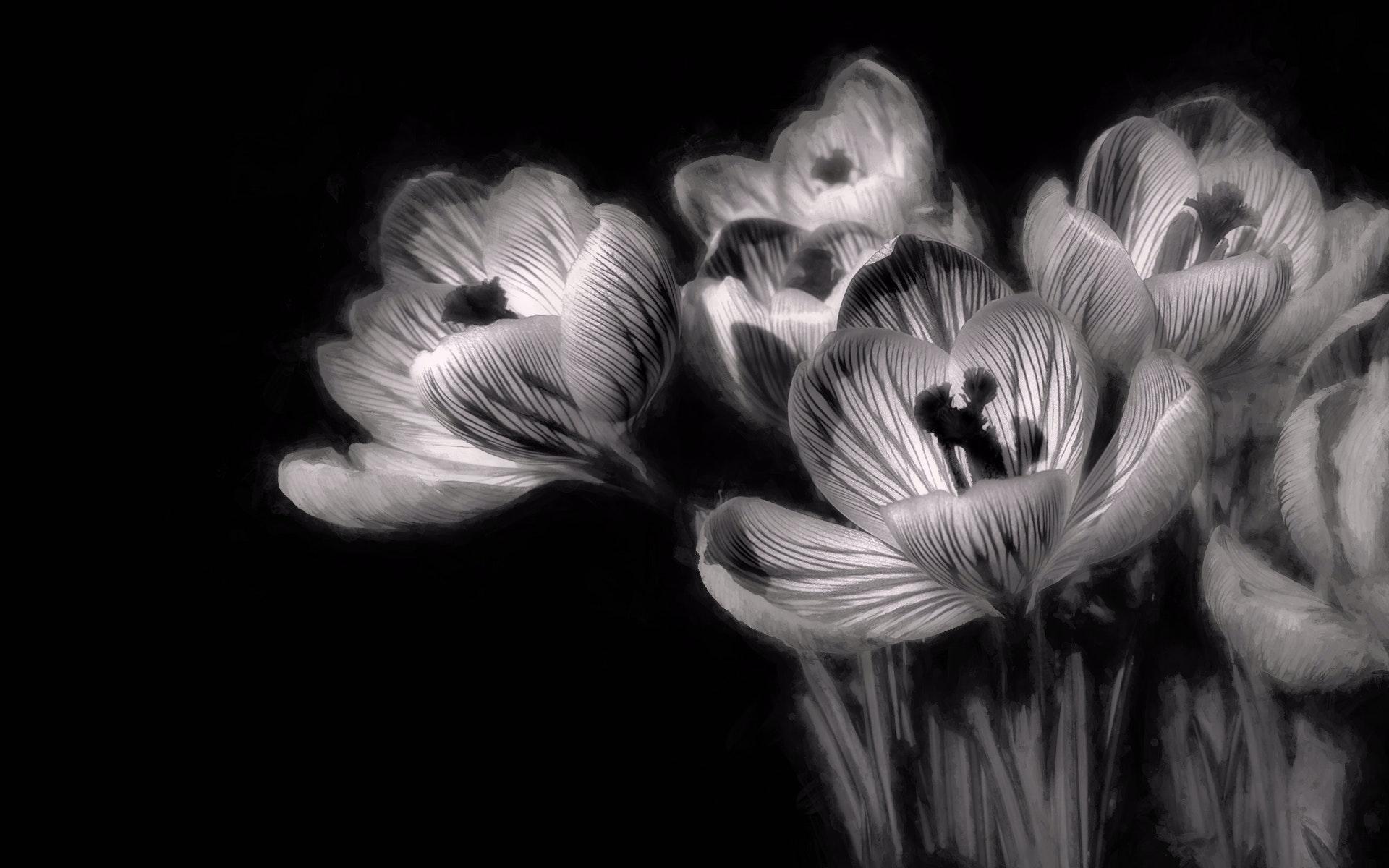Free Stock Photo Of Black And White Flowers Minimalism