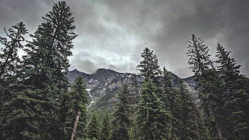 Photos gratuites de à feuilles persistantes, arbres, bois, brouillard